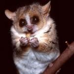 skolko-stoit-lemur