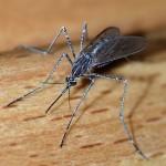 skolko-zhivut-komary