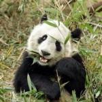 skolko-zubov-u-pandy