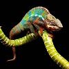 skolko-stoit-xameleon