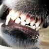 skolko-zubov-u-sobaki