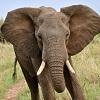 skolko-vesit-slon