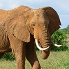 skolko-let-zhivet-slon