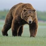 maksimalnyi-ves-medvedya