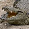 skolko-let-zhivut-krokodily