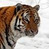 skolko-ostalos-amurskix-tigrov-v-rossii