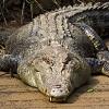 skolko-zubov-u-krokodila