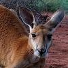 ves-kenguru