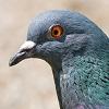 skolko-let-zhivet-golub