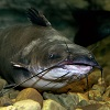 skolko-let-zhivet-som-v-akvariume
