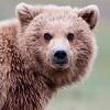 skolko-let-zhivut-medvedi