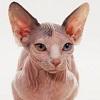 skolko-zhivut-sfinksy-koty