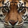 prodolzhitelnost-zhizni-tigrov